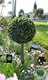 Solar Lighting Grass Privet Spheres Lights