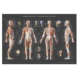 Amazon.com: Anatomy Poster: Industrial & Scientific