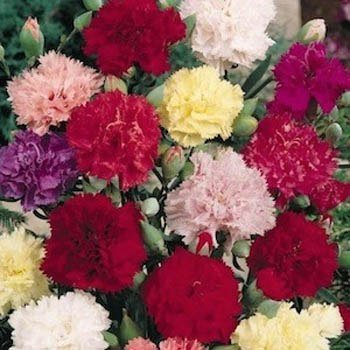 Carnation (Dianthus Caryophyllus Chabaud Mix) Tall Double Fringed Flowers with a Rich Fragrance! Beautiful As Cut Flowers! Approx 25 Seeds