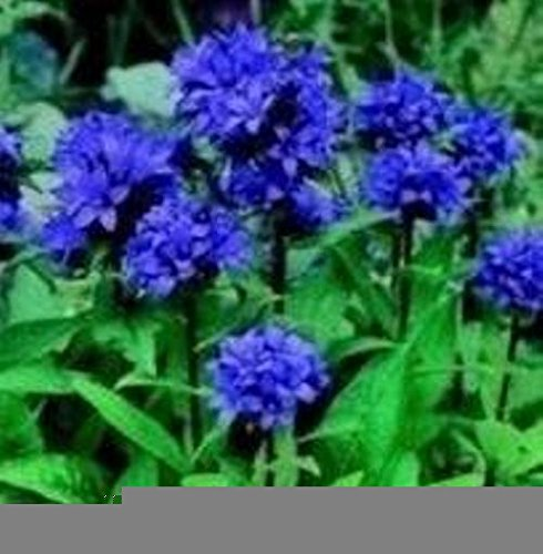 Campanula - Glomerata Acaulus - 500 Seeds ()