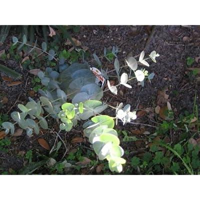 20 SILVER DROP EUCALYPTUS Gunnii Cider Gum Florist Tree SeedsComb S/H : Tree Plants : Garden & Outdoor