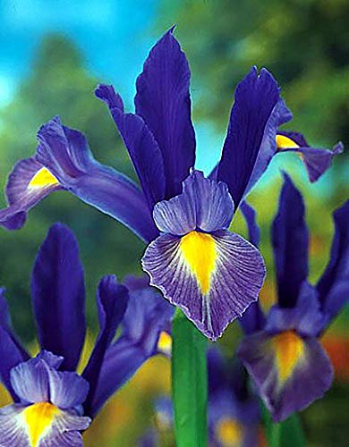 Sapphire Beauty Dutch Iris 20 Bulbs - Multiply Rapidly - 8/9 cm Bulbs ()