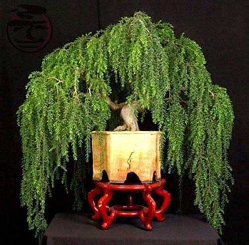 Bonsai Tree Dwarf Weeping Willow Live Plant Best Gift Houseplant Indoor