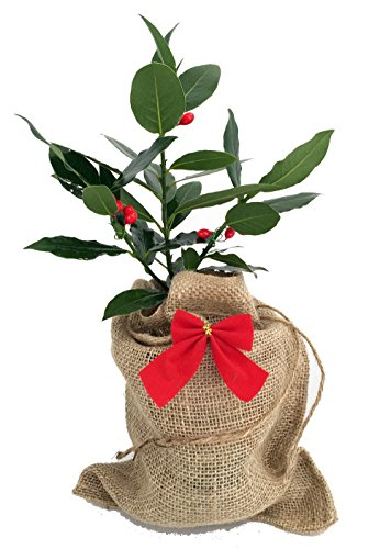 Laurel Tree - Sweet Bay Laurel Herb in Burlap Pot Cover - Laurus nobilis - Quart Pot