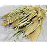 DriedDecorCuriousCountryCreations–Dried-Foxtail-Millet-Case-of-24-Bunches