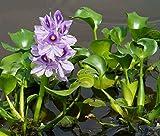 1 LIVE Violet Purple Water Hyacinth Floating Koi Pond Plant water filtering