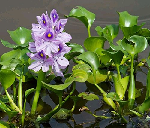 1 LIVE Violet Purple Water Hyacinth Floating Koi Pond Plant water ()