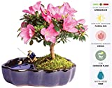 Brussel's Live Satsuki Azalea Outdoor Bonsai Tree in Zen Reflections Pot – 4 Years Old; 8″ to 10″ Tall Reviews