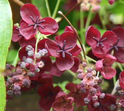 AKEBIA QUINATA - CHOCOLATE VINE - STARTER PLANT - APPROX 4-6 (Chocolate Vine)