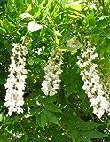 Asklepios seeds 40 graines de wisteria sinensis glycines jardin - Graine de glycine ...