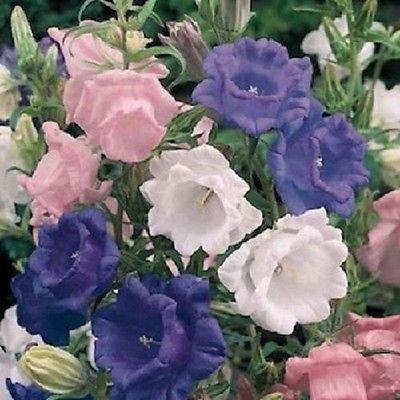 Colonial Saucer - 50 Cup and Saucer Mix Campanula Canterbury Bells Perennial Flower Seeds