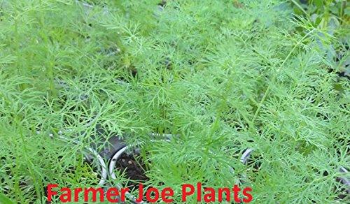HERB - Dill Fern Leaf - Live Plant - 4