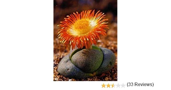 Granito vivo Pleiopilos nelii Suculentas Tropica - 40 Semillas