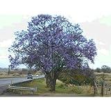 BLUE JACARANDA - SPECTACULAR TREE - JACARANDA MIMOSIFOLIA - 10 SEEDS
