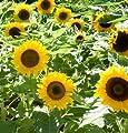 David's Garden Seeds Sunflower Big Smile D1312 (Yellow) 50 Open Pollinated Seeds