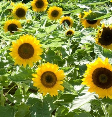 David's Garden Seeds Sunflower Big Smile SV1312 (Yellow) 25 Open Pollinated Seeds (Seeds 25 Sunflower Yellow)