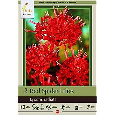 Red Spider Magic Lily 2 Bulbs - Lycoris Radiata - 10/+ cm Bulbs : Flowering Plants : Garden & Outdoor