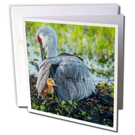Colt Wing (3dRose Danita Delimont - Sandhill Crane - Sandhill Crane on nest with colt under wing, Florida - 6 Greeting Cards with envelopes (gc_250773_1))