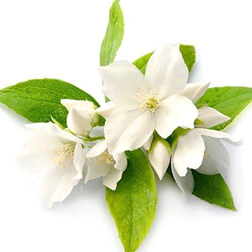 sac promotion Belle graine de fleur de jasmin chinois v/éritable fleur de th/é blanc rare plante odorante en bonsa/ï bricolage jardin 20pcs