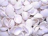 1 lb (about 80) White Ark Shells Seashells (1''-1 1/2'') Beach Wedding Hobby Crafts