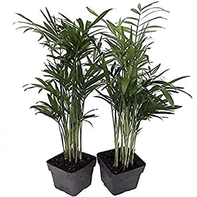 "Chamaedorea Neanthe Bella Live Plant Victorian Parlor Palm Plants 2 Pack 2.5"" Pot - HGarden365 : Garden & Outdoor"