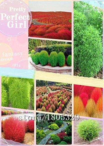 1 paquete original 200 semillas / Paquete de hierba Semillas gato, gato Domésticos Alimentos para mascotas Hierba Semilla: Amazon.es: Jardín