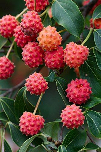 Kousa Cornus Dogwood Tree - CORNUS KOUSA, Chinese Dogwood Tree White Flowers red Fruit Plant Seed 50 Seeds