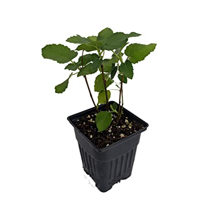 Edible Fig Plant 'Brown Turkey' (Ficus carica) - Sweet & Hardy : Seeds Trees : Garden & Outdoor
