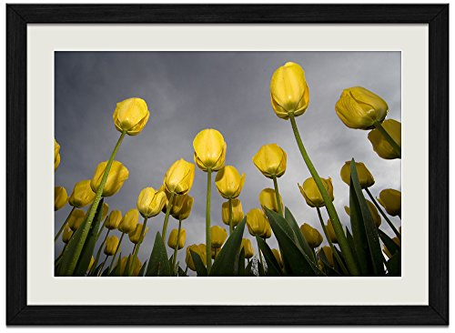 (Yellow Tulips - Art Print Wall Black Wood Grain Framed Picture(16x12inches))
