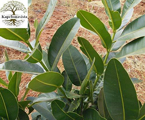 Quelle est cette plante des Seychelles? 515s1sJOllL