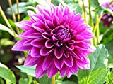 Thomas Edison Decorative Dahlia - 2 Bulb Clumps - Purple Petals