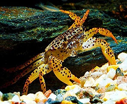 Amazon com : 3 Panther Crabs - Live Freshwater Crab : Pet