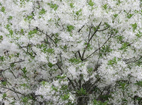 White Fringe Tree Chionanthus virginicusa - Heavy - Established - Roots - One Quart Potted Plant by Growers -
