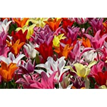 5 Lily-Flowered Tulips bulbs~mixed color collection~Pre-Chilled for forcing