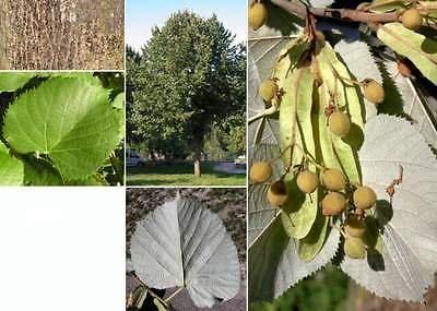 Silver Linden. 100 seeds. trees, seeds