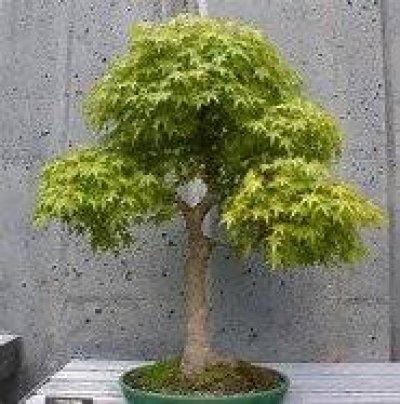 Amazoncom 15 Seeds Boxelder Maple Tree Use For Bonsai Or Yard