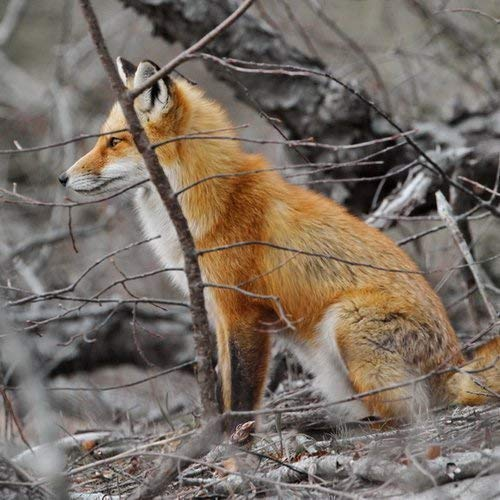 Photograph of a Red Fox in the Woods - Fine Art Animal Photography -''The lookout'' - Nature inspired wall art