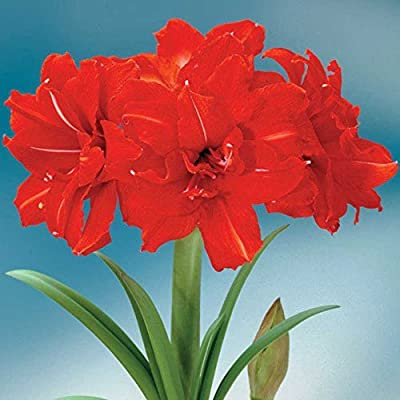 Red Peacock Amaryllis Bulb, Great for Winter Forcing! Unique Gift for the Gardening Lover in Your Life!: Garden & Outdoor