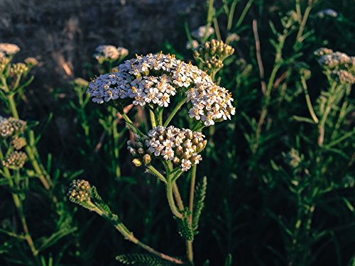 All Good Things Organic Seeds White Yarrow Seeds (~150)