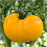 Package of 80 Seeds, Yellow Brandywine Tomato (Lycopersicon esculentum) Non-GMO Seeds by Seed Needs