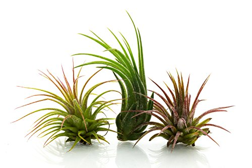 Air Plant 3 Pack Assortment | 3 Varieties of Tillandsia Air Plants | Nautical Crush Trading