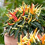 Medusa,Edible Ornamental Pepper -(Capsicum Annuum ) 10 Seeds