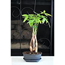 9GreenBox - 5 Braided Money Trees - Bonsai with Water Tray and Fertilizer