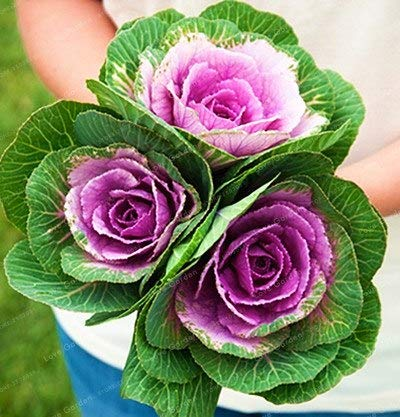 10 best ornamental cabbage live plants