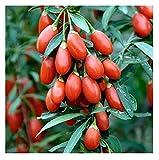 David's Garden Seeds Fruit Goji Berry SL784 (Red) 200 Heirloom Seeds