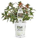 Cheap Vermillionaire Large Firecracker Plant (Cuphea) Live Plant, Orange Flowers, 4.25 in. Grande, 4-pack