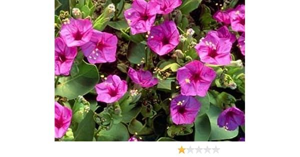 Amazon 50 Seeds Of Pink Four Oclock Mix Beautiful Bright Pink