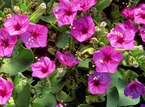 (50 Seeds of Pink Four O'Clock Mix Beautiful Bright Pink Trumpet Shaped)