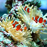 (海水魚 熱帯魚) カクレクマノミ(国産ブリード)(2匹) 本州・四国限定[生体]