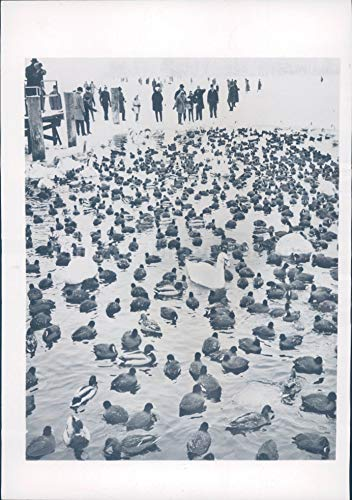 1963 Photo West Berlin Tegeler Lake Ducks Freeze Waterfowl Crowd Animals Ice
